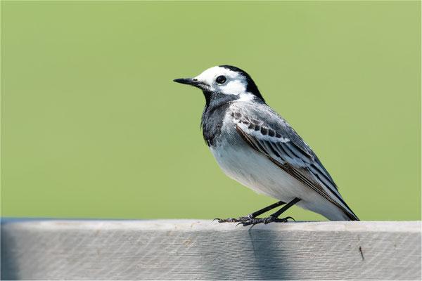 Bachstelze [Motacilla alba]  /  wildlife