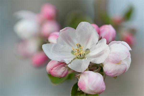 Apfelblüte [Malus spec.]