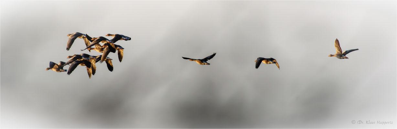 Graugans [Anser anser] / wildlife