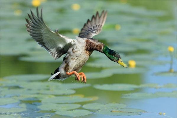 Stockente [Anas platyrhynchos] / wildlife