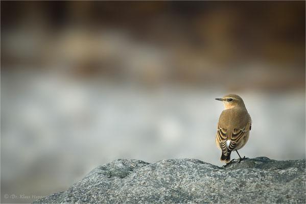 Steinschmätzer [Oenanthe oenanthe] / wildlife