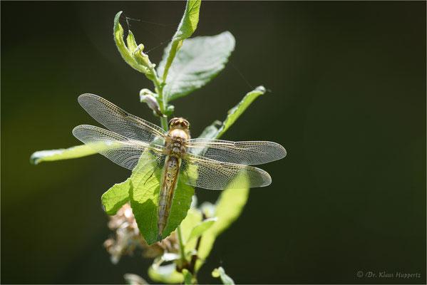 Vierfleck [Libellula quadrimaculata]
