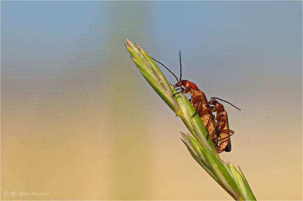 Roter Weichkäfer [Rhagonycha fulva]