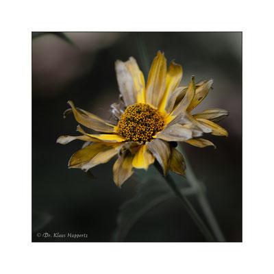 Behaarte Sonnenblume [Helianthus mollis]