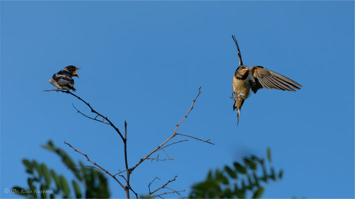 Rauchschwalbe [Hirundo rustica]  /  wildlife