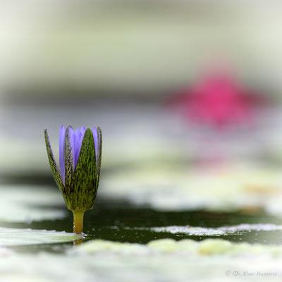 Seerose [Nymphaea spec.]
