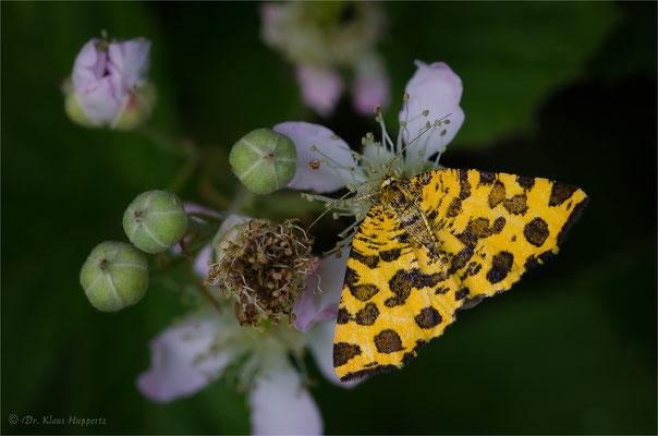 Pantherspanner oder Gelber Fleckenspanner [Pseudopanthera macularia]