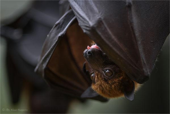 Flugfuchs, Kalong [Pteropus vampyrus]