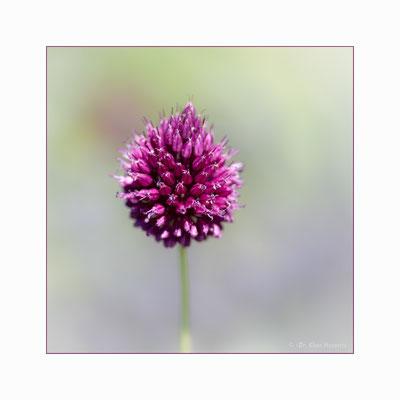 Kugelköpfiger Lauch [Allium sphaerocephalon]