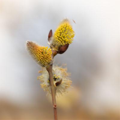 Weide [Salix spec.]