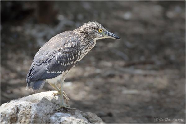 Nachtreiher Jungvogel [Nycticorax nycticorax]