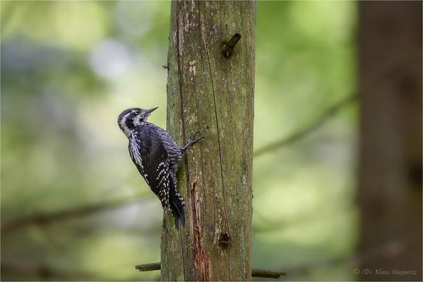 Dreizehenspecht männlich  [Picoides tridactylus] / wildlife