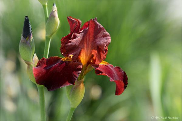 Iris [Iris spec.]