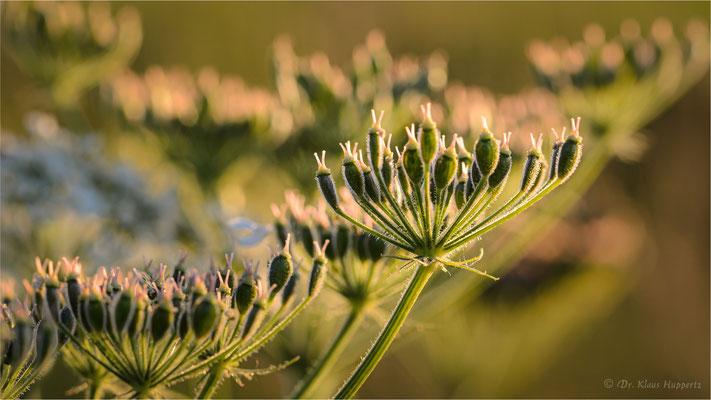 Wiesen-Bärenklau [Heracleum sphondylium]