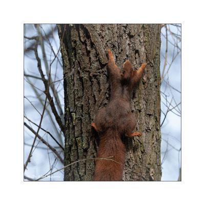 Eurasisches Eichhörnchen [Sciurus vulgaris]  /  wildlife