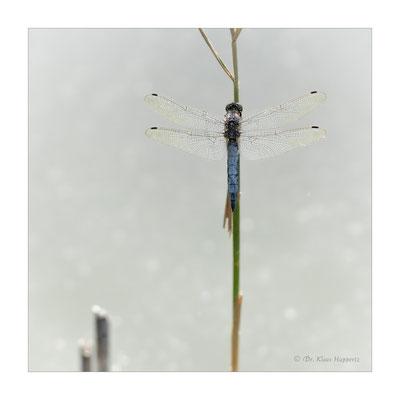 Großer Blaupfeil [Orthetrum cancellatum]