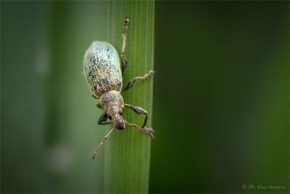 Nessel-Blattrüssler oder Brennnessel-Grünrüssler [Phyllobius pomaceus, Syn.: Phyllobius urticae]