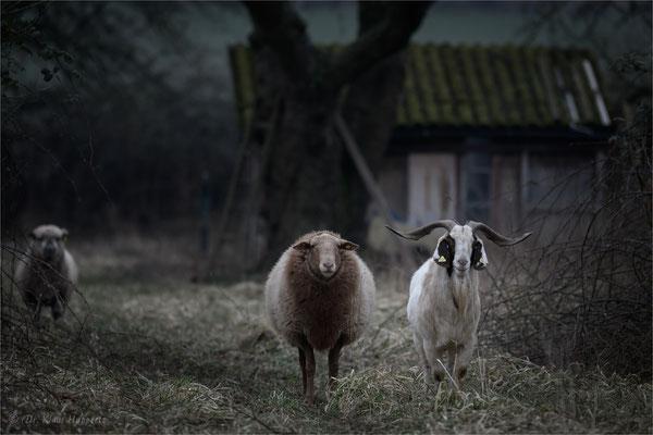 beste Freunde / Schaf & Ziege