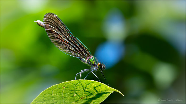 Blauflügel-Prachtlibelle [Calopteryx virgo]