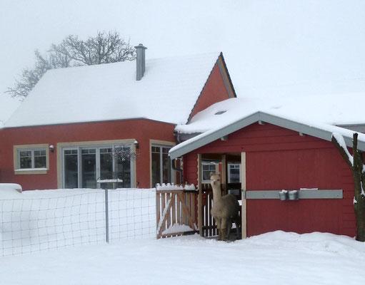 Alpaka im Schnee.