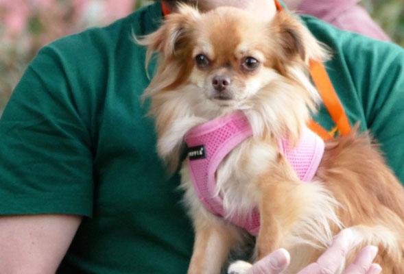 Foto: Michaela Hilburger. Langhaar-Chihuahua