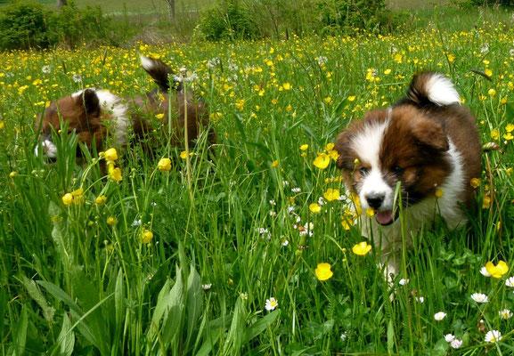 Mitten durch die Blumenwiese...