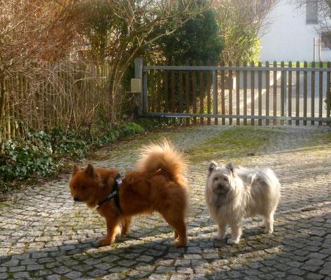 ...die beiden Klein-Elo-Hündinnen Emma vom Wiesenquell (glatt) und Noella-Mila von Werths Echte (rau) schauen mal wieder vorbei. Nein, es ist nicht Frühjahr - wir haben den 1. Januar!!!