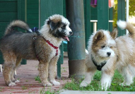 Familienhund Welpe