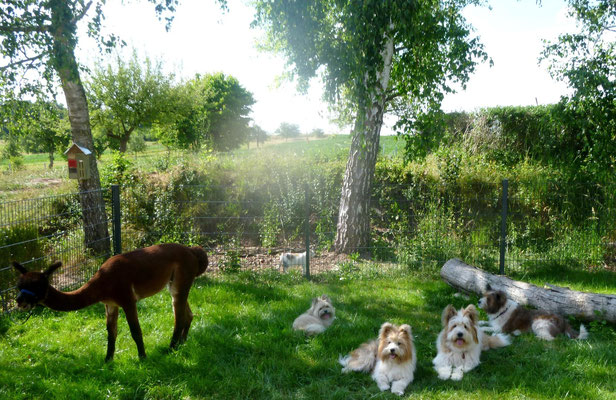 Die Alpakas futtern frisches Gras.