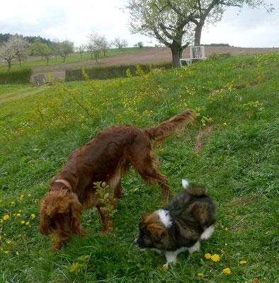 wenn ein erwachsener Hund auf einen Welpen trifft.