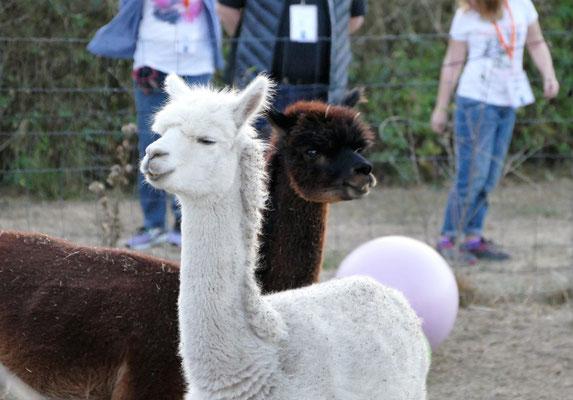 Foto: Michaela Hilburger. Die Alpakas Cashino und Shamu.