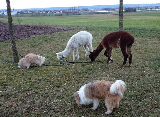 Grasende Elos, die immer wieder ausprobieren, warum denn Kamele dieses Gras fressen.