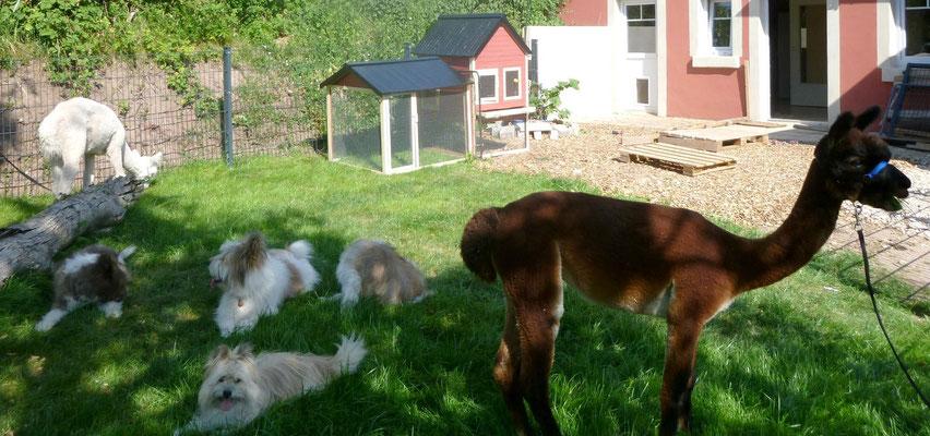 Die Alpakas futtern das frisch angesähte Gras im Welpengehege.