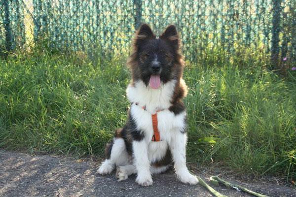 Thorin, mit typischem Junghunde-Aussehen..
