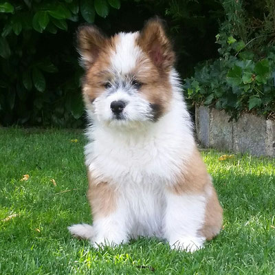 Servicehund Elo Rau