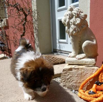 Auch an einem Löwen geht er einfach vorbei ;-).