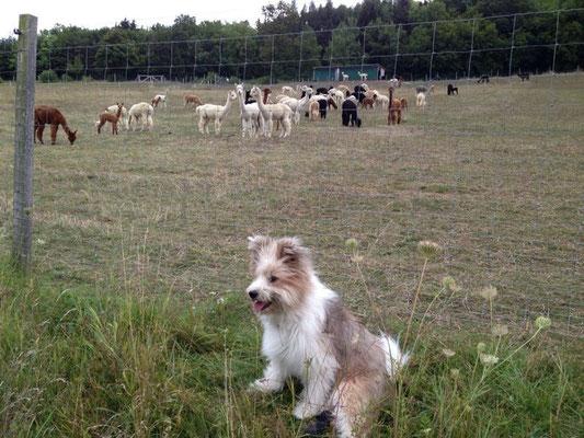 Samba ist wieder fit und hat mich zu den Alpakas begleitet.