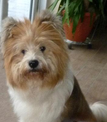 Familienhund Elo: O-Samba von Werths Echte, Klein-Elo rau, 45 cm.