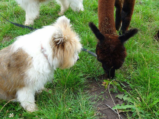 ...dass Alpakas nun mal am liebsten Gras fressen.
