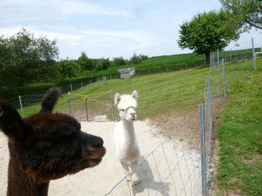 Die Alpakas sind mal wieder sehr neugierig.
