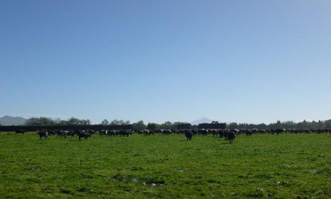 Kühe zum Melken holen