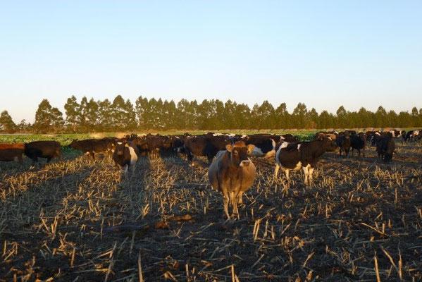Kühe auf dem Grünkohlfeld