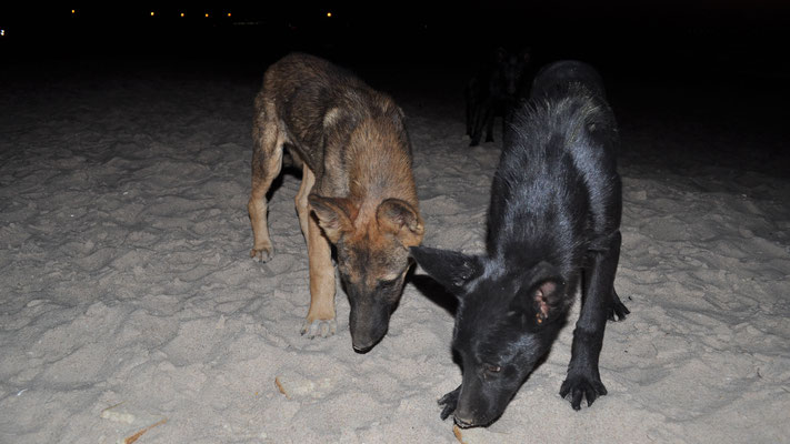 Wilde Hunde am Westpoint in Dakhla