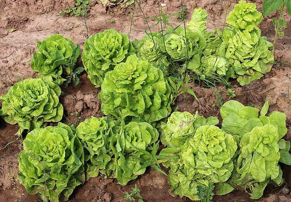 Der Kopfsalat kann schon regelmässig geerntet werden