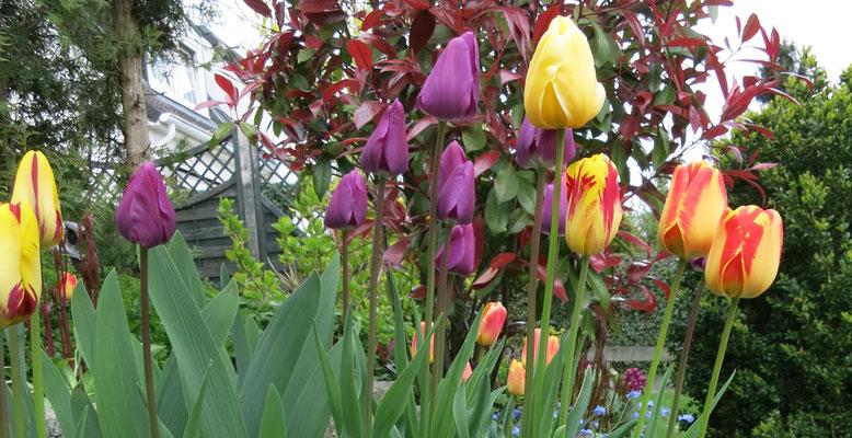 Tulpenblüte in gelbe und violett  in unserem Garten.