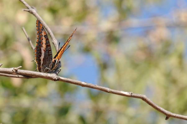 Schmetterling (keine Ahnung welche Art)