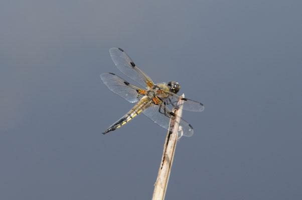Vierfleck - Libelula quadrimaculata