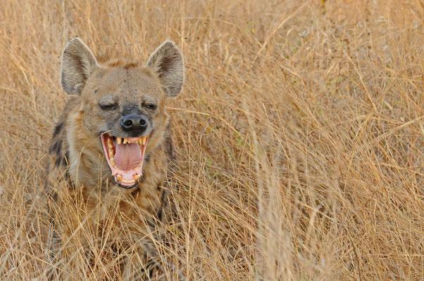 Tüpfelhyäne - spotted hyena