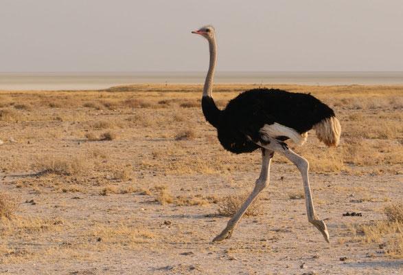 Etosha NP - Strauß - ostrich - volstruis (afrikaans)