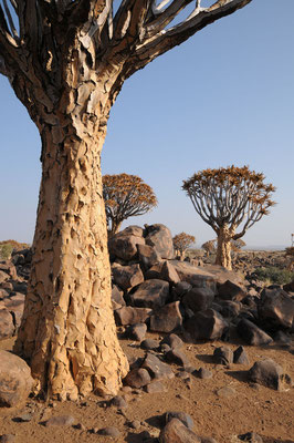 Köcherbaum Landschaft